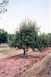 Bartlett Pear (Pyrus communis 'Bartlett') at Oakland Nurseries Inc