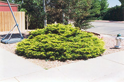 Gold Coast Juniper (Juniperus x media
