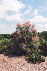 Summer Glow Tamarisk (Tamarix ramosissima 'Summer Glow') at Oakland Nurseries Inc