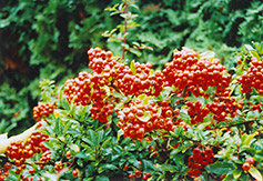 Yukon Belle Scarlet Firethorn (Pyracantha coccinea 'Yukon Belle') at Oakland Nurseries Inc