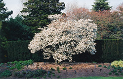 Star Magnolia (Magnolia stellata) at Oakland Nurseries Inc