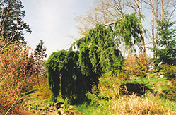 Weeping Douglas Fir (Pseudotsuga menziesii 'Pendula') at Oakland Nurseries Inc