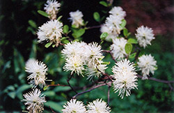 Blue Mist Fothergilla (Fothergilla gardenii 'Blue Mist') at Oakland Nurseries Inc