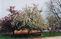 Sentinel Flowering Crab (Malus 'Sentinel') at Oakland Nurseries Inc