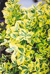 Sungold Wintercreeper (Euonymus fortunei 'Sungold') at Oakland Nurseries Inc