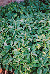 Japanese Spurge (Pachysandra terminalis) at Oakland Nurseries Inc