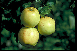 Honeygold Apple (Malus 'Honeygold') at Oakland Nurseries Inc