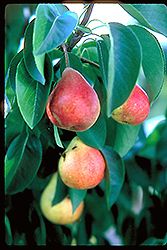 Summercrisp Pear (Pyrus 'Summercrisp') at Oakland Nurseries Inc