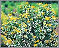 Dakota Goldrush Potentilla (Potentilla fruticosa 'Absaraka') at Oakland Nurseries Inc