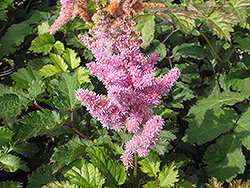 Heart and Soul Astilbe (Astilbe 'Heart and Soul') at Oakland Nurseries Inc