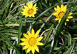 Colorado Gold Gazania (Gazania linearis 'Colorado Gold') at Oakland Nurseries Inc