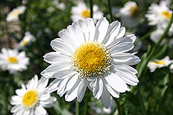 Sunny Side Up Shasta Daisy (Leucanthemum x superbum 'Sunny Side Up') at Oakland Nurseries Inc