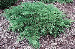 Northern Pride Russian Cypress (tree form) (Microbiota decussata 'Northern Pride (tree form)') at Oakland Nurseries Inc
