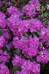 Compact P.J.M. Rhododendron (Rhododendron 'P.J.M. Compact') at Oakland Nurseries Inc