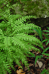 Northern Maidenhair Fern (Adiantum pedatum) at Oakland Nurseries Inc