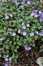 Waterperry Blue Speedwell (Veronica 'Waterperry Blue') at Oakland Nurseries Inc