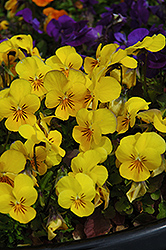 Penny Yellow Pansy (Viola cornuta 'Penny Yellow') at Oakland Nurseries Inc