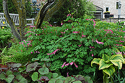 Common Bleeding Heart (Dicentra spectabilis) at Oakland Nurseries Inc
