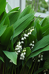 Lily-Of-The-Valley (Convallaria majalis) at Oakland Nurseries Inc