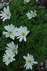 White Splendor Windflower (Anemone blanda 'White Splendor') at Oakland Nurseries Inc