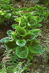 Frances Williams Hosta (Hosta 'Frances Williams') at Oakland Nurseries Inc