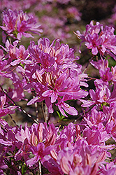 Orchid Lights Azalea (Rhododendron 'Orchid Lights') at Oakland Nurseries Inc