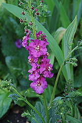 Purple Mullein (Verbascum phoenicium) at Oakland Nurseries Inc