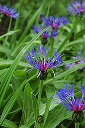Mountain Bluet (Centaurea montana) at Oakland Nurseries Inc