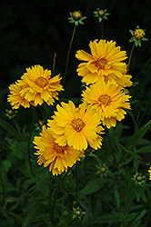 Early Sunrise Tickseed (Coreopsis 'Early Sunrise') at Oakland Nurseries Inc
