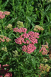 Heidi Yarrow (Achillea millefolium 'Heidi') at Oakland Nurseries Inc