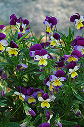 Johnny Jump-Up (Viola tricolor) at Oakland Nurseries Inc