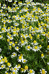 Chamomile (Matricaria recutita) at Oakland Nurseries Inc