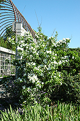 Natchez Mockorange (Philadelphus x virginalis 'Natchez') at Oakland Nurseries Inc