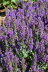 Marcus Sage (Salvia nemorosa 'Marcus') at Oakland Nurseries Inc