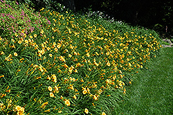 Happy Ever Appster® Happy Returns Daylily (Hemerocallis 'Happy Returns') at Oakland Nurseries Inc