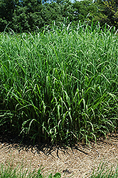 Silver Feather Maiden Grass (Miscanthus sinensis 'Silver Feather') at Oakland Nurseries Inc