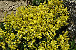 Golden Moss Stonecrop (Sedum acre) at Oakland Nurseries Inc