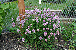 Chives (Allium schoenoprasum) at Oakland Nurseries Inc