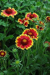 Goblin Blanket Flower (Gaillardia x grandiflora 'Goblin') at Oakland Nurseries Inc