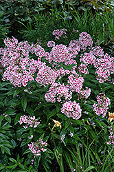 Bright Eyes Garden Phlox (Phlox paniculata 'Bright Eyes') at Oakland Nurseries Inc