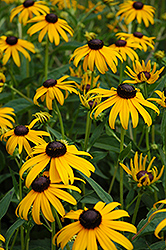 Goldsturm Coneflower (Rudbeckia fulgida 'Goldsturm') at Oakland Nurseries Inc