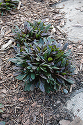 Chocolate Chip Bugleweed (Ajuga reptans 'Chocolate Chip') at Oakland Nurseries Inc