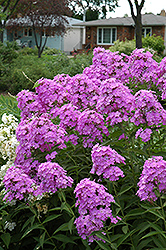 Little Boy Garden Phlox (Phlox paniculata 'Little Boy') at Oakland Nurseries Inc