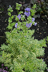 Brise D'Anjou Jacob's Ladder (Polemonium caeruleum 'Brise D'Anjou') at Oakland Nurseries Inc