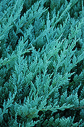 Blue Chip Juniper (Juniperus horizontalis 'Blue Chip') at Oakland Nurseries Inc
