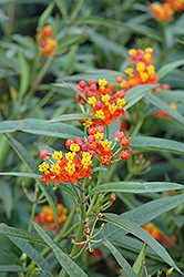 Red Butterfly Milkweed (Asclepias curassavica 'Red Butterfly') at Oakland Nurseries Inc