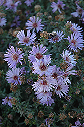 Woods Blue Aster (Aster 'Woods Blue') at Oakland Nurseries Inc