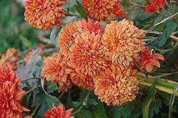Burnt Copper Chrysanthemum (Chrysanthemum 'Burnt Copper') at Oakland Nurseries Inc