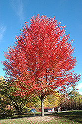 Autumn Blaze Maple (Acer x freemanii 'Jeffersred') at Oakland Nurseries Inc
