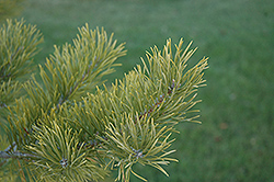 Scotch Pine (Pinus sylvestris) at Oakland Nurseries Inc